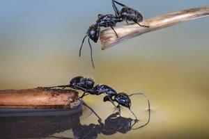 У муравьев тоже есть пагубные зависимости: ради чего насекомые готовы отдать жизнь