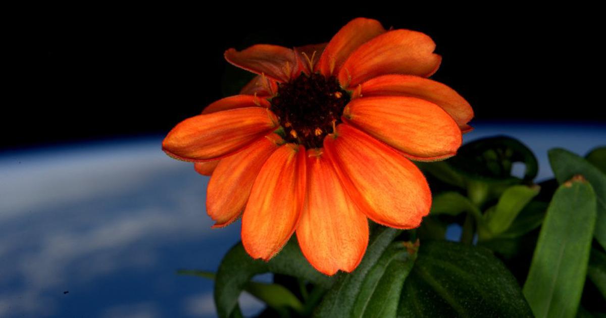 Выращен первый в истории цветок в космосе