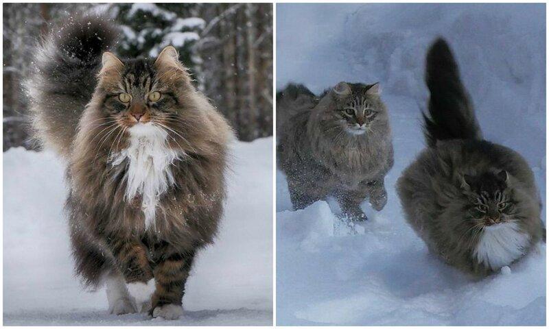 Суровые северные коты