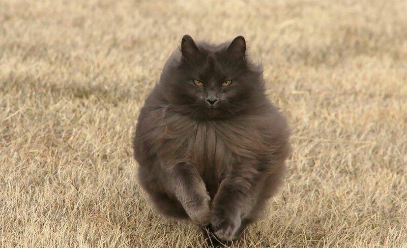 Красавец Сигмонд — королевских кровей кот!