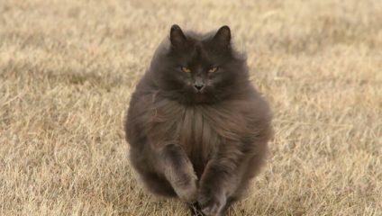 Красавец Сигмонд - королевских кровей кот!