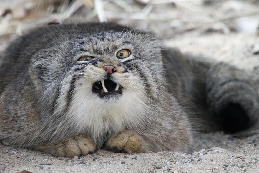 Малоизвестные дикие кошки