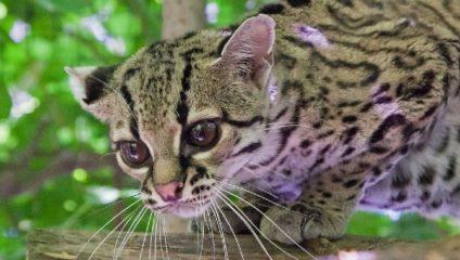Удивительно редкие виды диких собак и кошек