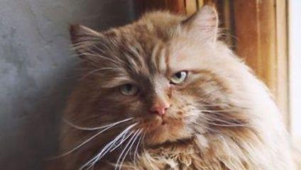 Коты, пушистость которых зашкаливает